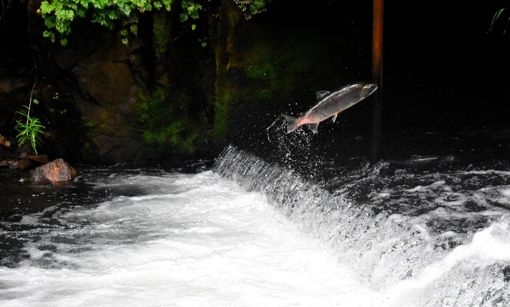 pez a contracorriente
